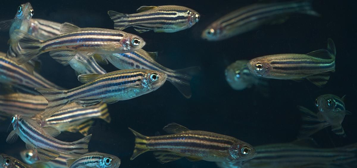 5G wireless networks have few health impacts, Oregon State study using zebrafish model finds
