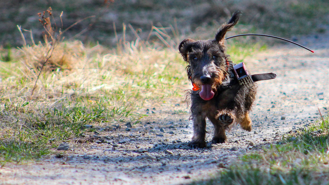 Dogs may use Earth's magnetic field to take shortcuts | Science